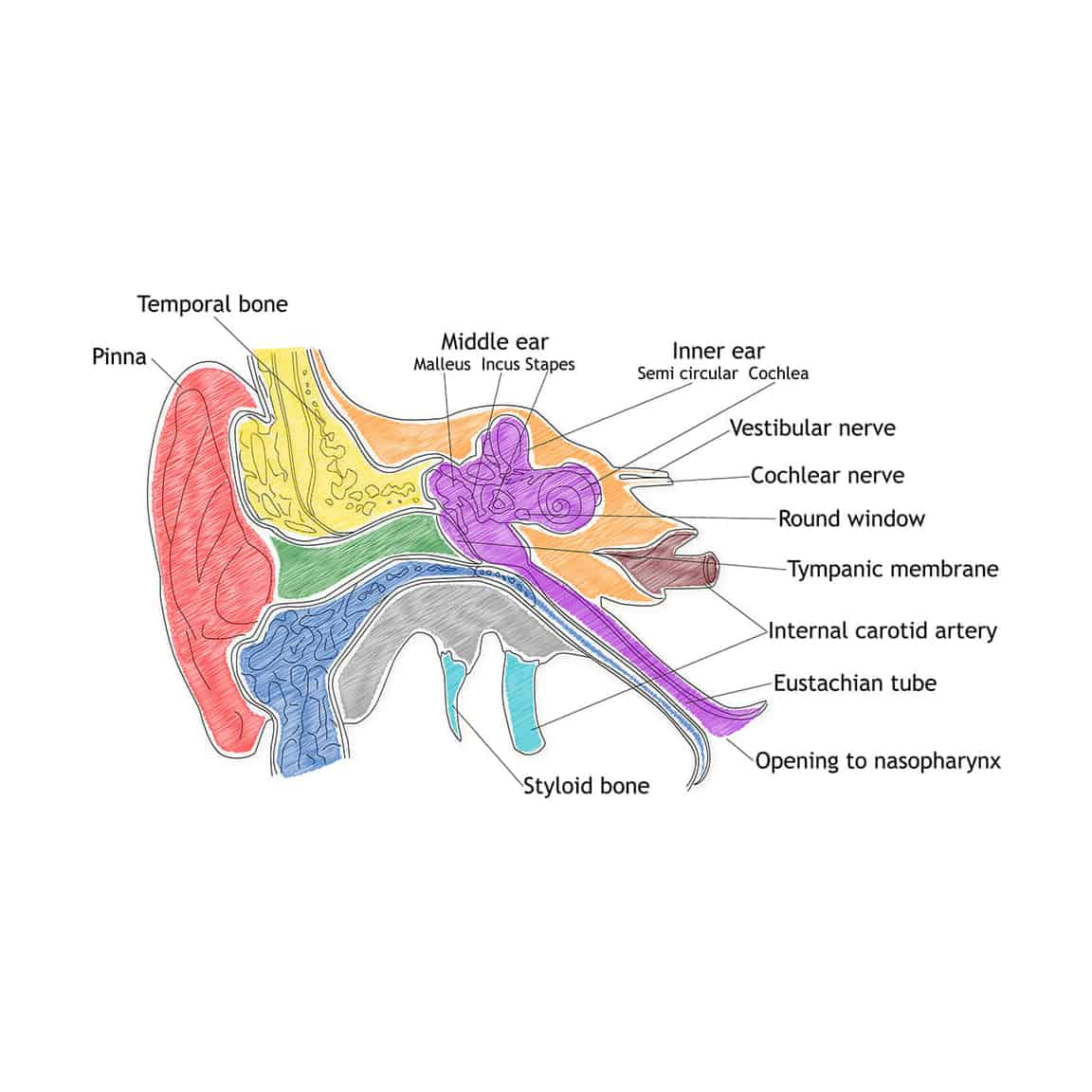 ear diagram showing how hearing works